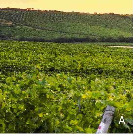 Vineyards A