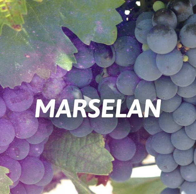 Marselan
