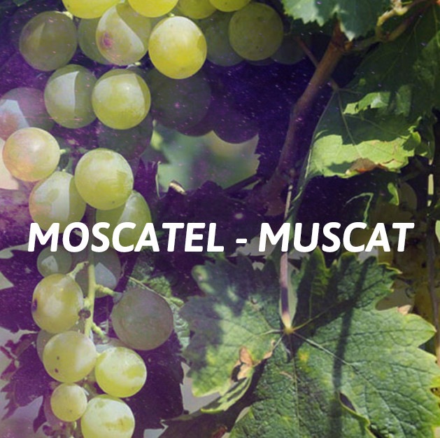 Moscatel - Muscat