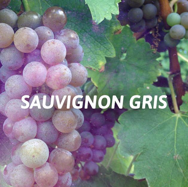 Sauvignon Gris